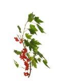 Tak van een rode aalbes met bessen en bladeren op whit worden geïsoleerd die Stock Afbeeldingen