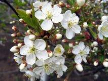 Tak van een tot bloei komende boom Royalty-vrije Stock Foto
