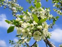 Tak van een tot bloei komende boom Royalty-vrije Stock Afbeelding