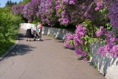 Tak van een tot bloei komende sering De achtergrond van de lente Stock Fotografie