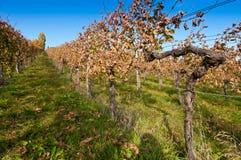 Tak van een wijnstok in wijngaard Royalty-vrije Stock Afbeeldingen