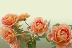 Tak van Engelse rozen - rangdame van Shalott Royalty-vrije Stock Foto