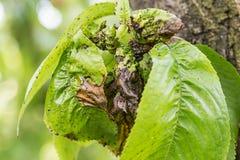 Tak van fruitboom met gerimpelde bladeren die door zwarte bladluis worden beïnvloed Kers aphids, zwarte vlieg op kersenboom, stre stock afbeeldingen