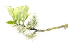 Tak van geitwilg met vrouwelijke bloemen en jonge groene bladeren op witte achtergrond Royalty-vrije Stock Foto