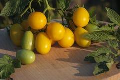 Tak van gele tomaten met groene bladeren op een keuken houten raad Zonsondergangverlichting stock foto's