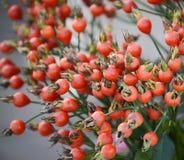 Tak van granaatappelboom stock foto's
