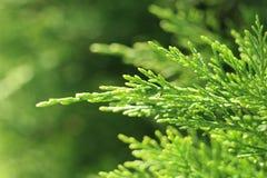 Tak van groene cade op onscherpe achtergrond in zonnige dag Royalty-vrije Stock Afbeeldingen