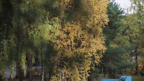 Tak van groene pijnboom Bomen met geel blad in de herfstdag in park Calmly golf stock videobeelden