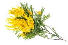 Tak van het bloeien gele die Acaciadealbata, op witte achtergrond wordt geïsoleerd stock foto