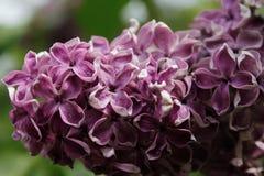 Tak van het lilac struik groeien in de Botanische Tuin van St. Petersburg Royalty-vrije Stock Afbeeldingen