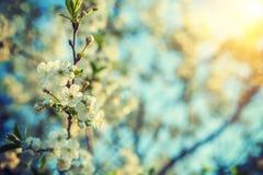 Tak van het Tot bloei komen Cherry Tree Close Up Hipster Stijlversie Stock Foto