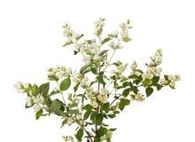 Tak van jasmijn met bloemen royalty-vrije stock fotografie