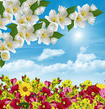 Tak van jasmijnbloemen Royalty-vrije Stock Afbeeldingen