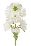 Tak van Jasmine Flowers Isolated op Witte Achtergrond Stock Foto