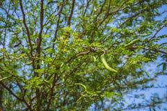 Tak van johannesbroodboom met onrijpe peulen royalty-vrije stock afbeelding