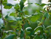 Tak van jostaberry met groene bessen in de lente op vage achtergrond stock foto's