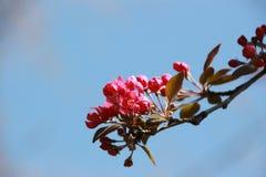 Tak van kersen rode bloemen Stock Afbeelding