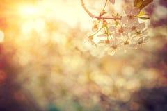 Tak van kersenboom op vage mistige zonnige achtergrond Royalty-vrije Stock Foto's