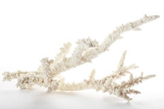 Tak van koraal Royalty-vrije Stock Afbeeldingen