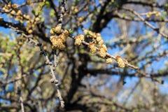 Tak van lariks met jonge kegels in de lente Stock Afbeeldingen