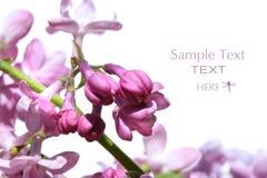 Tak van lilac knoppen Royalty-vrije Stock Foto's