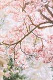Tak van magnoliaboom in bloei met tedere roze bloemen stock afbeeldingen