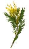 Tak van mimosa's (zilveren acacia) die op wit worden geïsoleerd Stock Fotografie