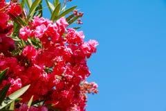 Tak van mooie roze bougainvilleabloemen tegen de blauwe hemelachtergrond Roze bloemen De ruimte van het exemplaar Stock Foto's