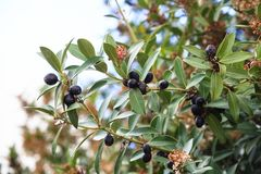 Tak van olijfboom Stock Fotografie