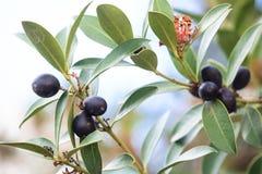 Tak van olijfboom Stock Foto's