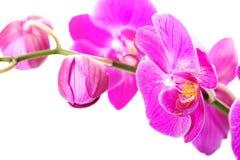 Tak van orchideebloem stock afbeeldingen