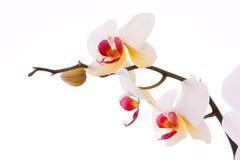 Tak van orchideebloemen Royalty-vrije Stock Afbeeldingen