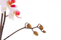 Tak van orchideebloemen Royalty-vrije Stock Fotografie