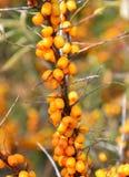 Tak van overzees-wegedoorn met rijpe vruchten Stock Foto's