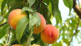 Tak van perzikboom met rijpe vruchten stock footage