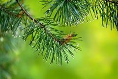 Tak van pijnboom-boom met jonge kegel en regendalingen op naalden Stock Afbeelding