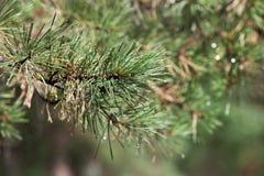 Tak van pijnboom in de zomerbos Stock Afbeelding