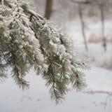 Tak van Pijnboom met sneeuw wordt behandeld die Uren en landschap Pijnboom in cou Stock Fotografie