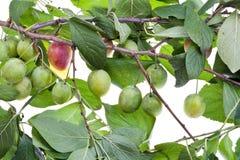 Tak van pruimboom met groene bladeren Stock Afbeeldingen