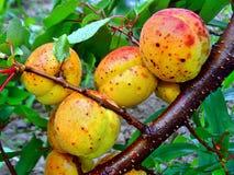Tak van rijpe oranje en rode abrikozen met waterdalingen Stock Foto's