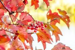 Tak van rijpe rode viburnum met bessen in de herfst royalty-vrije stock fotografie