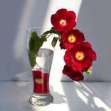 Tak van rode malvebloemen, boeket in een glasvaas met water in een straal van zonlicht en schaduw op witte dichte omhooggaand als stock foto