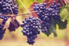 Tak van rode wijndruiven royalty-vrije stock fotografie