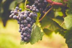 Tak van rode wijndruiven stock afbeelding