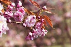 Tak van roze bloemen Royalty-vrije Stock Fotografie