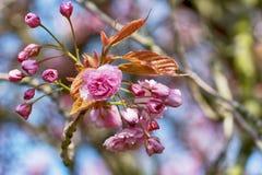 Tak van roze bloemen Stock Fotografie