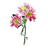 Tak van roze Chrysant Royalty-vrije Stock Afbeeldingen