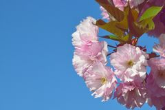 Tak van roze kersenbloesems tegen de blauwe hemel Bloeiende tuin De lente Sakura in bloei stock afbeelding