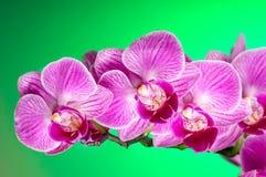 Tak van roze orchidee Royalty-vrije Stock Foto