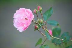 Tak van roze rozen royalty-vrije stock fotografie